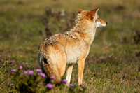 Coyote of Pt Reyes