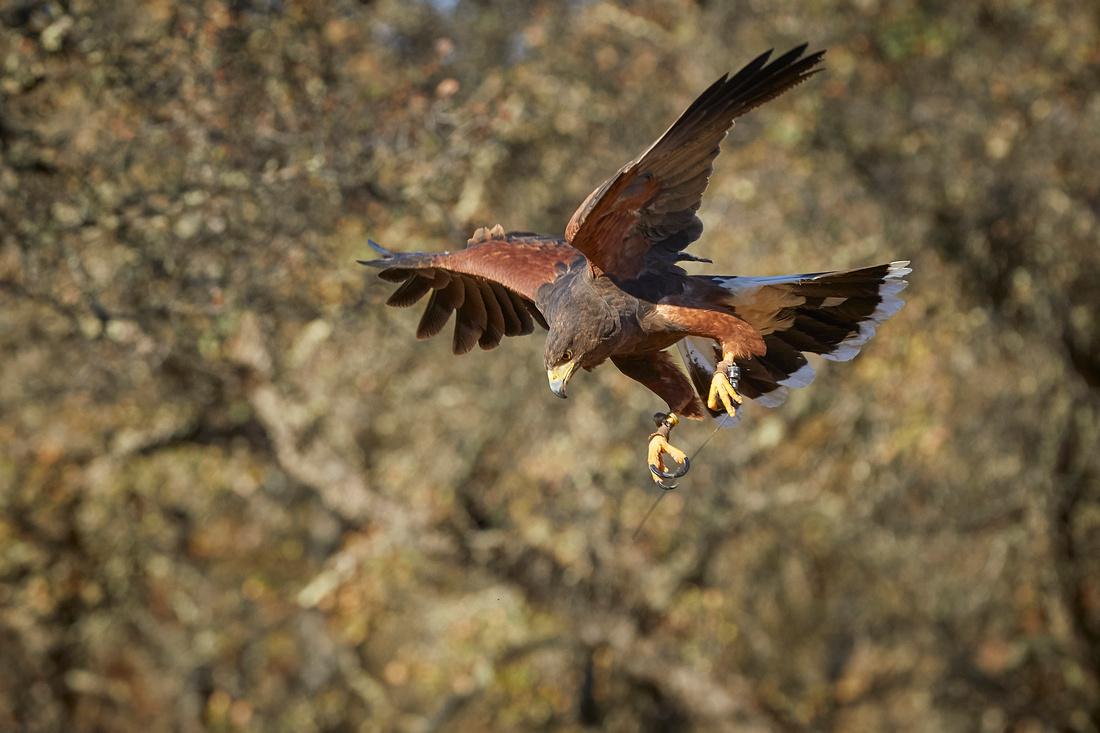 Falconry 289