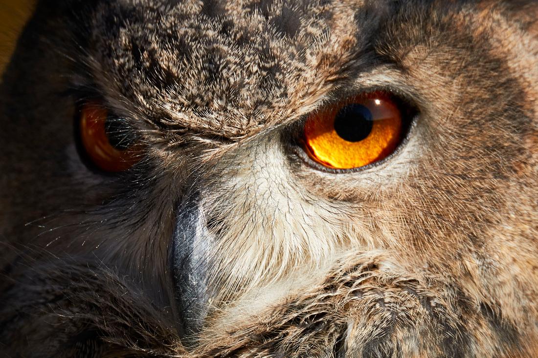 Eurasian Owl Falconry 7D 1250