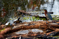 Birds Oct Green Heron 202