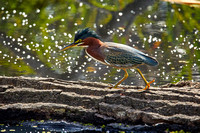 Birds Oct Green Heron 299