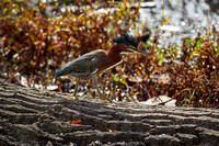 Birds Oct Green Heron 353