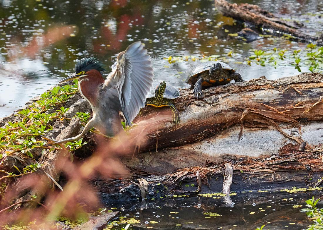 Birds Oct Green Heron 242
