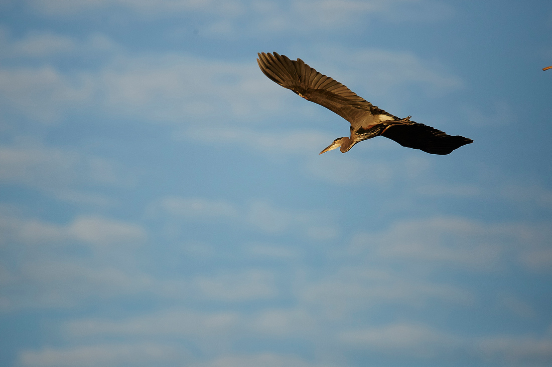Great Blue Heron-TNBC-055