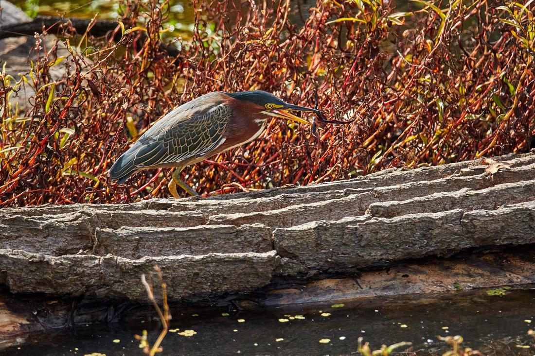 Green Heron eats crawdad 008