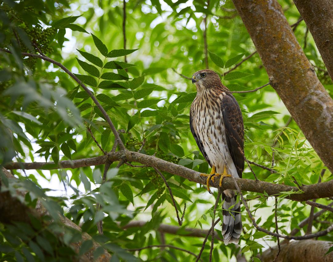Red Shoulder Hawk Juvenile 096