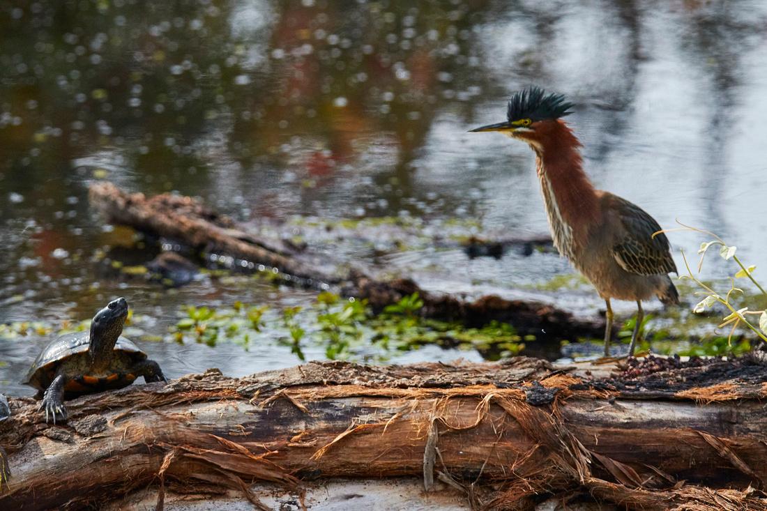 Birds Oct Green Heron 232