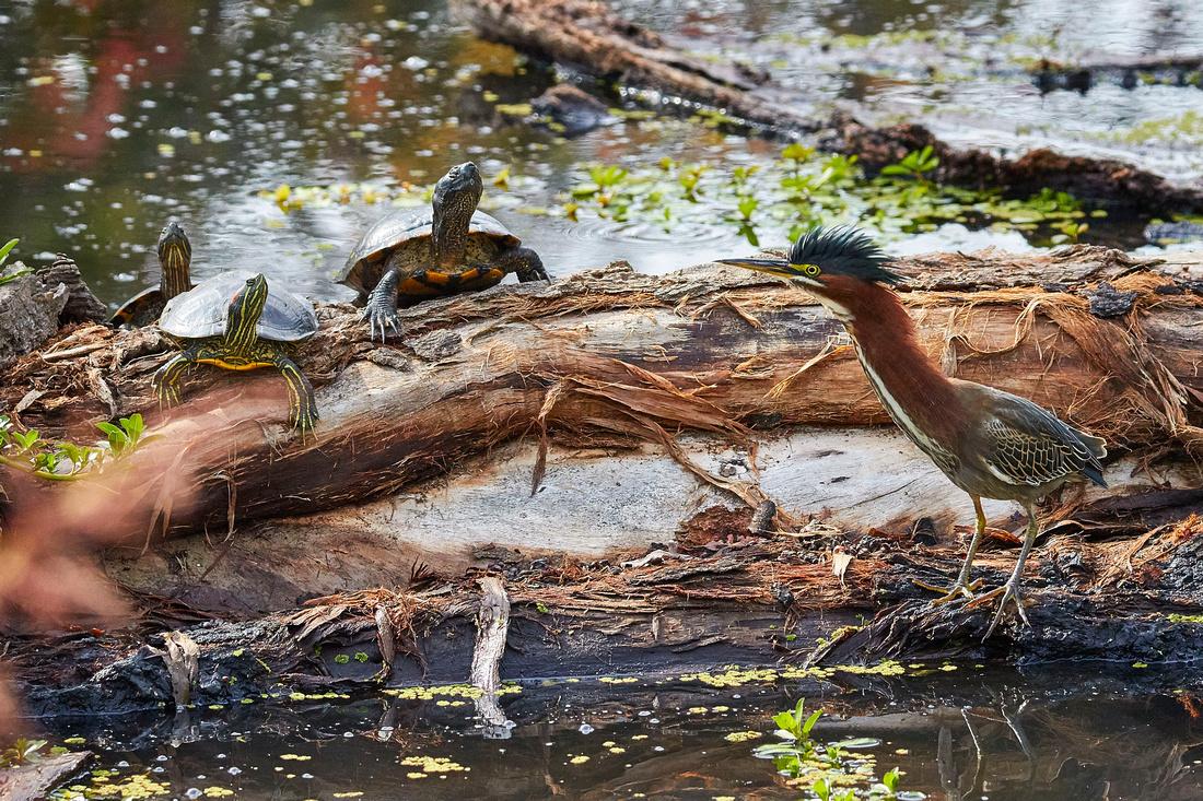 Birds Oct Green Heron 239 walk around