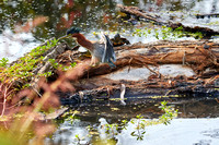 Birds Oct Green Heron 241