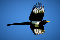 16_0_671_1yellow_billed_magpie_281_1200x1800_s4web