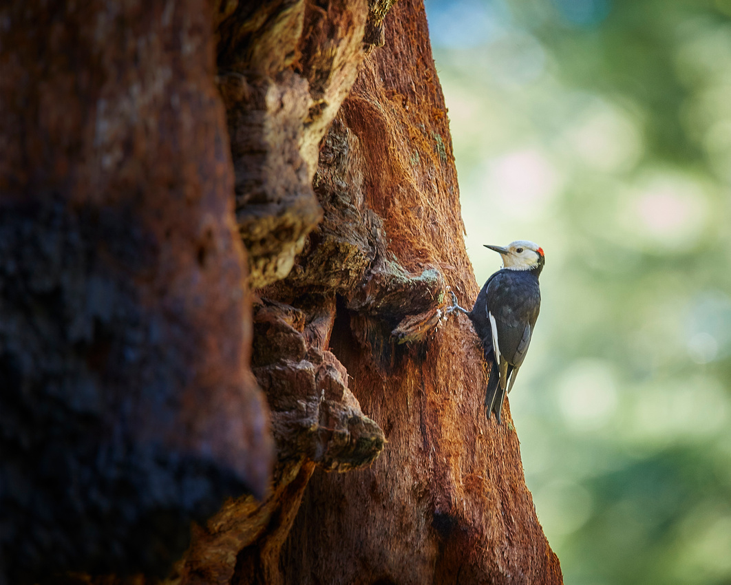 White-headed Woodpecker-male-8x10 crop