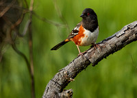 Spotted Towhee at River Bend 017