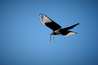 20_0_669_1yellow_billed_magpie_132_1800x1200_s4web