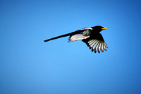 17_0_660_1yellow_billed_magpie_276_1_12x18_saved4web